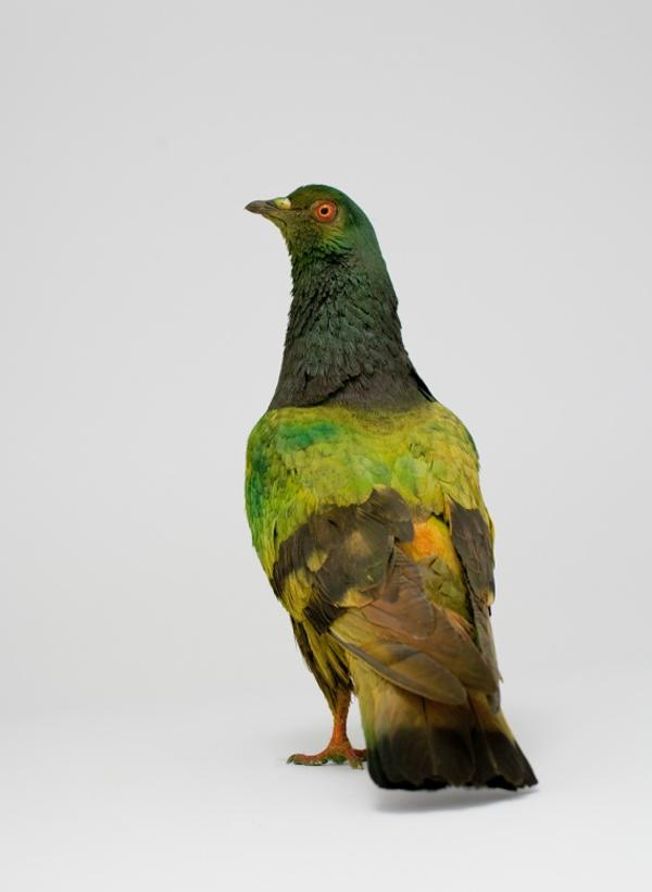 painted-pigeon
